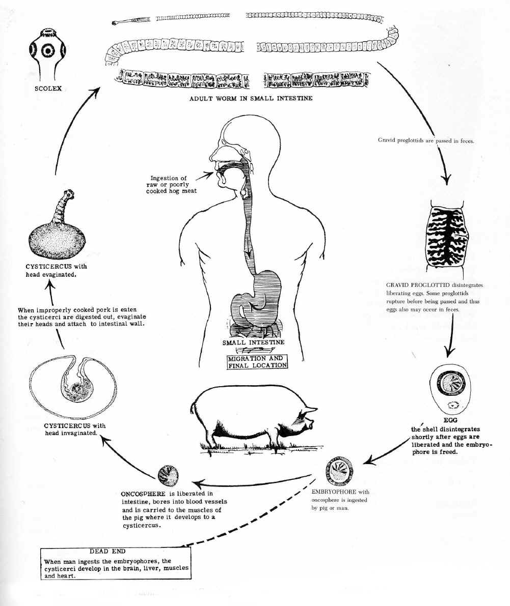 Platyhelminthes life cycle of taenia solium the pig tapeworm eggs are shed and ingested by a pig if they are ingested by a human the larvae mature in the brain liver pooptronica