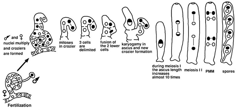 formation of ascospores When forming ascospores a meiotic cell division reduces the set of chromosomes and they become haploid after meiosis a mitosis takes place and numerous asci containing 8 ascospores each are formed forming ascospores (asco) is assessed by a linear degree day accumulation on the base of 10°c (= 1440 °hours.